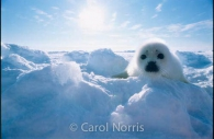 Harp-Seal-Pup-ice flows-Canada.jpg