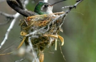 Bird-hummingbird-broad-billed-Arizona-nest-sitting.jpg