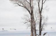 Buffalo-tree-snow-winter-Yellowstone.jpg