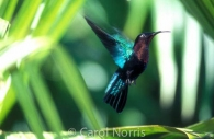 birds-Hummingbird-Martinique-Madeira-rain-forest.jpg