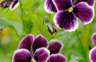 purple-pansies-flowers-monet-garden-giverny.jpg