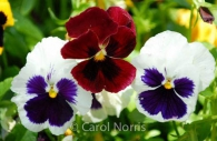 Pansies-flower.jpg