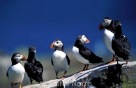 birds-puffins-rock-England.jpg