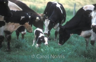 Holstein-cows-calf-farm-ontario.jpg