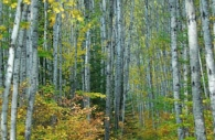 Canada-Ontario-silver-birch-fall-pathway.jpg