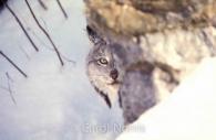Canadian-Lynx-snow.jpg