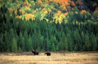 Canadiana-fall-colours-moose-bull-and-cow-Algonquin-park.jpg