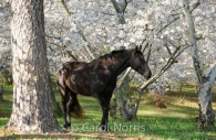 Americana-Georgia-Macon-black-beauty-horse-cherry-blossom.jpg