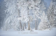 Americana-Yellowstone-National-Park-haw-frost-winter-trees.jpg