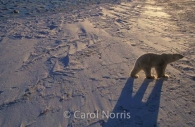 Polar-bear-shadow-ice.jpg