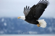 American-bald-eagle-mature-adult-flying-Alaska-bird.jpg