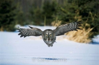 Great-grey-owl-take-off-landing-ontario-snow-phantom-of-the-north-bird-.jpg
