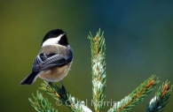 North-American-black-capped-chickadee-spruce-birds.jpg