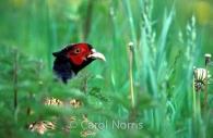 birds-pheasant-England-male-pheasant-grass.jpg