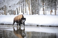 Buffalo-River-winter-Yellowstone-National-Park.jpg