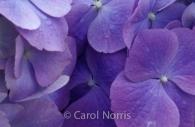 hydrangea-purple-flower.jpg