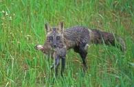 Silver fox-rabbit.jpg