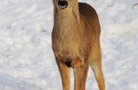 Young-deer-snow-Canada.jpg