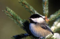 Bird-black-capped-chickadee-winter-north-American.jpg