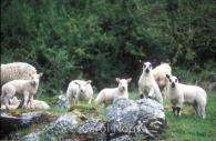 Animals-lambs-England.jpg