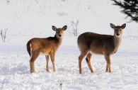 2-deer-snow-Quebec.jpg