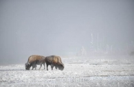 Buffalo-winter-Yellowstone-National Park.jpg