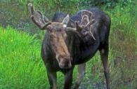 Bull-moose-twig-rack-Ontario.jpg