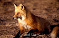Wildlife-Red Fox-Algonquin-Park-Ontario.jpg