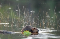 Beaver-Maple-leaf-Lake-Algonquin-Park.jpg