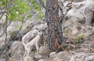 Dall-sheep-mother-baby-North-America.jpg