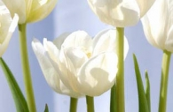 white-blue-green-tulips-Ottawa-flowers.jpg