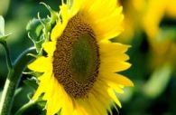 sunflower-yellow-flower-Ontario.jpg