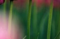 pink-spring-tulips-Ottawa-flowers.jpg
