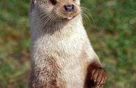 European-otter-tongue.jpg