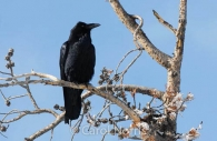 Bird-black-raven-north-America.jpg