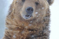 Grizzly-bear-brown-goofy-snow.jpg