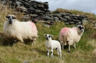 family-sheep-Ireland.jpg
