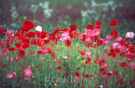 wild-poppies-pink-red-ontario-flowers-2.jpg