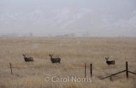 America-montana-yellowstone-national-park-deer-three-winter.jpg