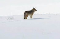 Coyote-snow-Yellowstone.jpg