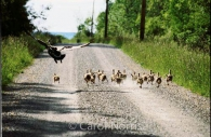 Canadian-Canada-geese-goslings-running-flying-Ontario-birds.jpg