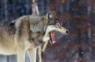 Gray-wolf-yawning-Ontario.jpg