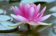 pink-waterlily-lilypads-flowers-Provence.jpg