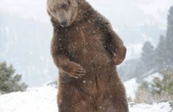 Grizzly-bear-brown-waving.jpg