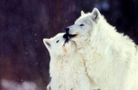 Arctic-wolves-kissing.jpg