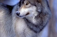 Gray-wolf-profile-winter.jpg
