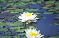 water-lilies-white-yellow-flowers.jpg