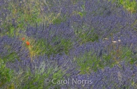 Provence-France-lavender-poppies.jpg