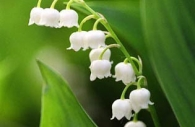 purity-white-green-lily of the valley-spring-flowers.jpg