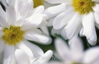 white-daisies-flower.jpg